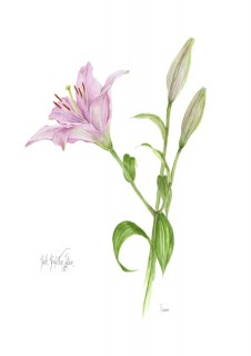 Pink Perfection Lilium A3 white